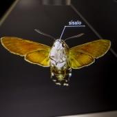 Leptir (Ljiljak) - hologram